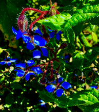 Load image into Gallery viewer, Borage flower