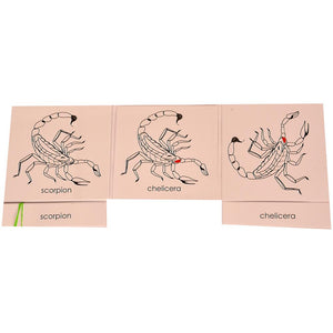 Buy Kidken Montessori Nomenclature Learning Cards - Scorpion - GiftWaley.com