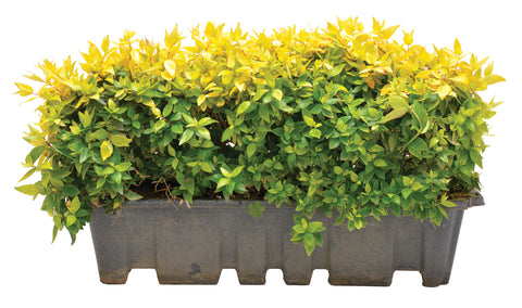 Abelia Grand. 'Francis Mason' Hedge Box