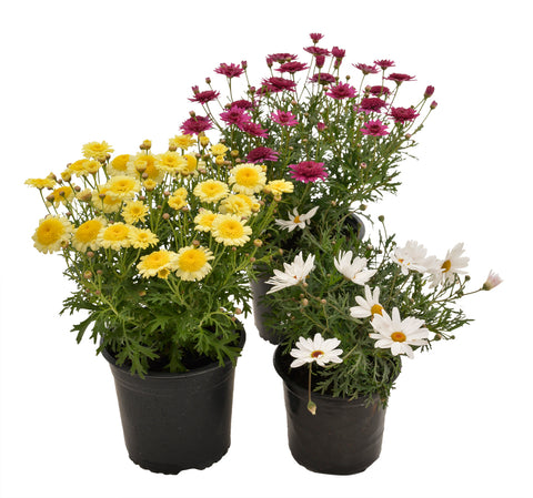Argyranthemum Mixed Colours - BUY 3 FOR 2