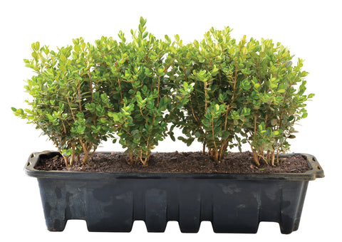 Buxus Semp. 'Green Beauty' Hedge