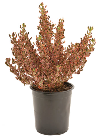 Coprosma repens-Pacific Sunset & Sunrise 20cm