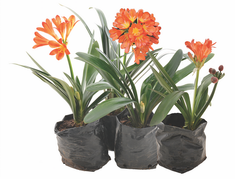 Clivia miniata (Bush Lily)   BUY 4 FOR 3