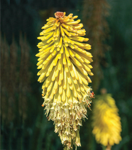 Kniphofia 'Golden Spear'  4L Bag