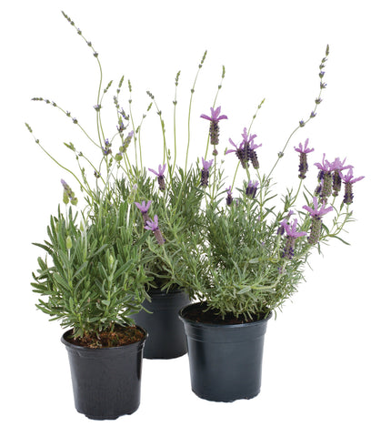 Lavandula Varieties - Buy 3 for 2