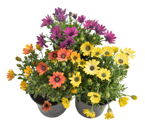 Osteospermum Mixed Colours - BUY 3 FOR 2