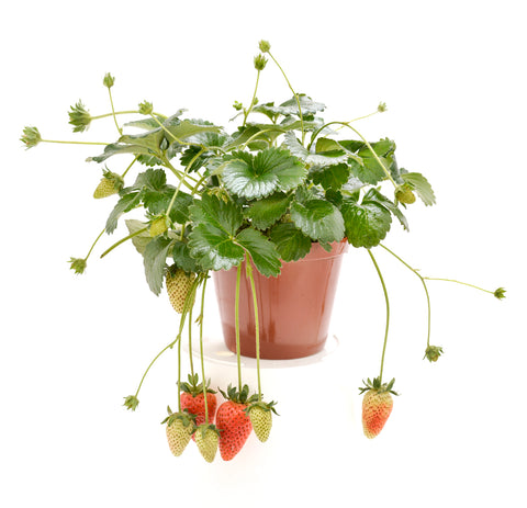 Fragaria ananassa -(Garden Strawberry) BUY 4 for 3