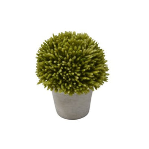 Onion Flower - Green in Pot