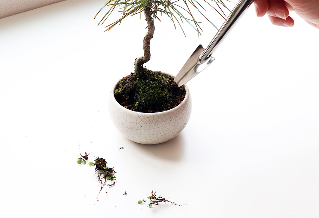 bonsai _repotting