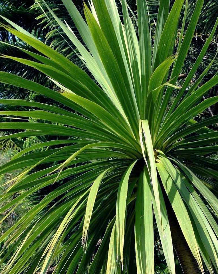 Cordyline Australis - green
