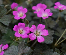 Load image into Gallery viewer, Geranium Orkney Cherry
