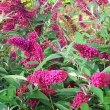 Load image into Gallery viewer, Buddleja Buzz Velvet