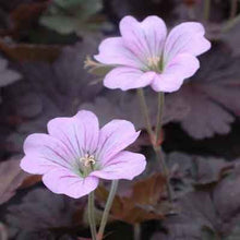Load image into Gallery viewer, Dusky Rose Geranium