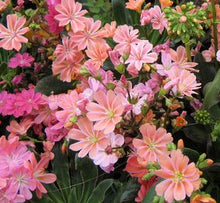 Load image into Gallery viewer, Lewisia Rainbow