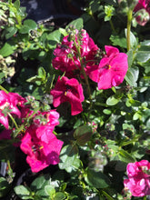 Load image into Gallery viewer, Diascia - dark pink