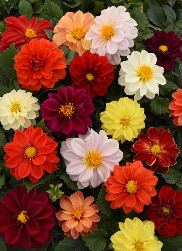 Dahlia'Figaro Mix'