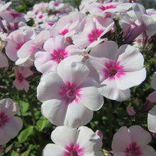 Load image into Gallery viewer, Phlox Adessa Pink Star