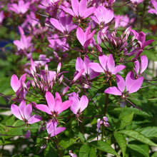 Load image into Gallery viewer, Cleome 'Senorita Rosalita'