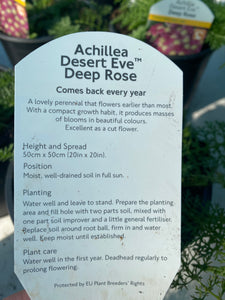 Achillia Desert Eve Deep Rose