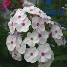 Phlox paniculata Flame 'White Eye'