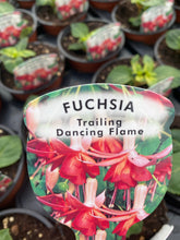 Load image into Gallery viewer, Trailing Fuchsia 'Dancing Flame'