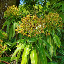 Load image into Gallery viewer, Euphorbia mellifera