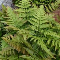 DescriptionDryopteris erythrosora (the autumn fern)