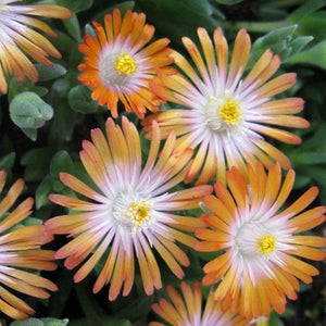 Delosperma Jewel of Desert 'Topaz'