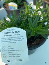 Load image into Gallery viewer, Lithodora Heavenly Blue