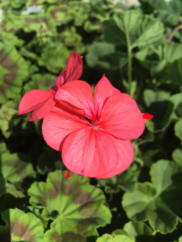 Bedding Geraniums- Pack Coral