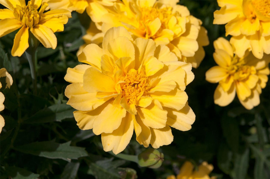 Lemon Zest French Marigold