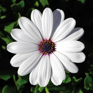 Osteospermum 'Flower Power White'