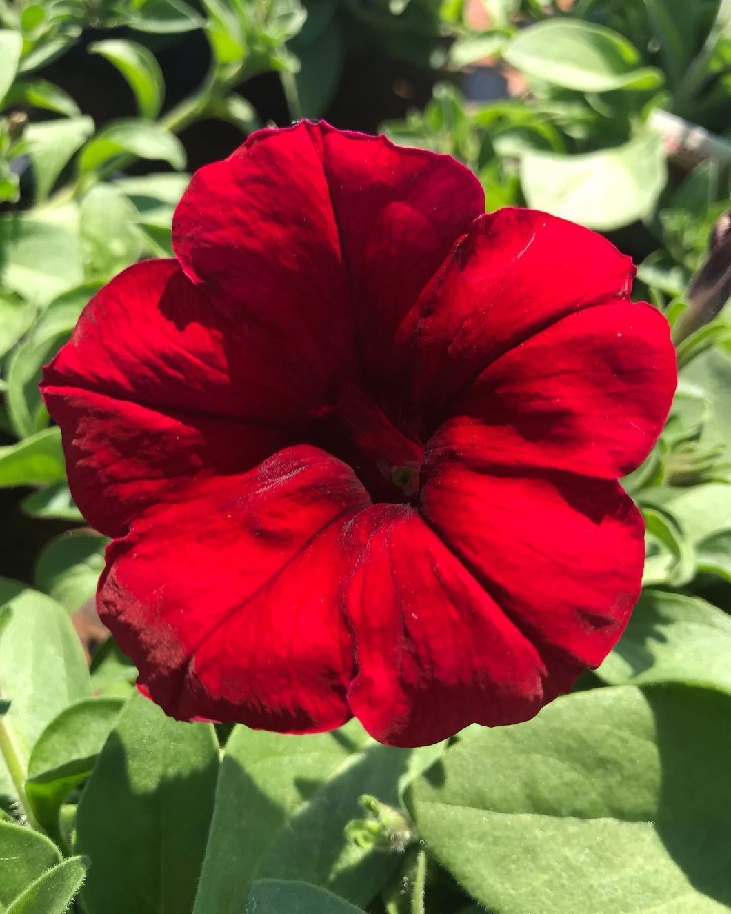 Wave Trailing Petunia 'Red Velour'