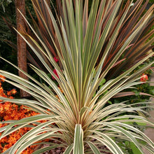 Load image into Gallery viewer, Cordyline Torbay Dazzler