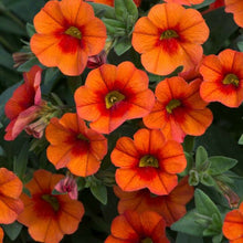 Load image into Gallery viewer, Calibrachoa (Million Bells) 'Orange'