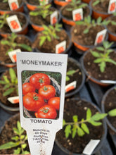 Load image into Gallery viewer, Tomato Plant 'Money Maker'