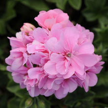 Load image into Gallery viewer, Ivy Trailing Geranium 'Light Pink'