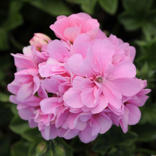 Ivy Trailing Geranium 'Light Pink'