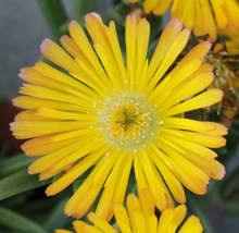 Load image into Gallery viewer, Delosperma Suntropics Yellow