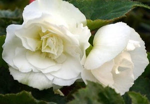 Non Stop Begonia Fortune White - POT