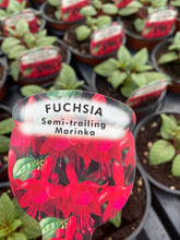 Load image into Gallery viewer, Trailing Fuchsia 'Marinka'