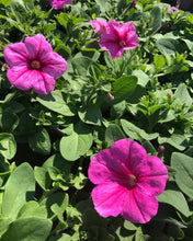 Load image into Gallery viewer, Wave Trailing Petunia 'Bubblegum'
