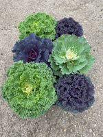 10.5cm Cabbage, Autumn (Tray of 6 well grown plants)