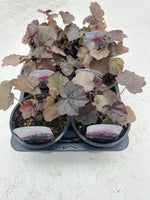 10.5cm Heuchera Palace Purple, Perennial, Summer, Autumn, Spring, Foliage (Tray of 6 well grown plants) (CLICK TO SEE MORE COLOURS)
