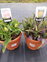 *Multi-buy Deal* 2 x Large Plastic Spring patio pots full of Tulips (11/12 bulbs per pot)