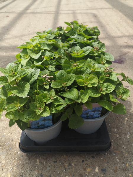 1L Ageratum (Summer, tray of 8 fully grown plants)