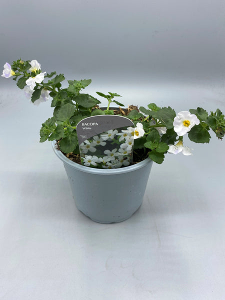 1L pot Bacopa (Tray of 3 fully grown plants in flower) (Spring, Summer)