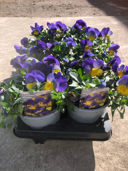 1L Pot Trailing Pansy, Summer, Autumn, Spring (Tray of 8 fully grown plants in flower)