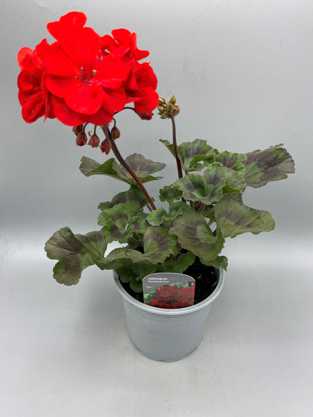 1L pot Large Geranium (Tray of 3 established plants) (Spring, Summer)