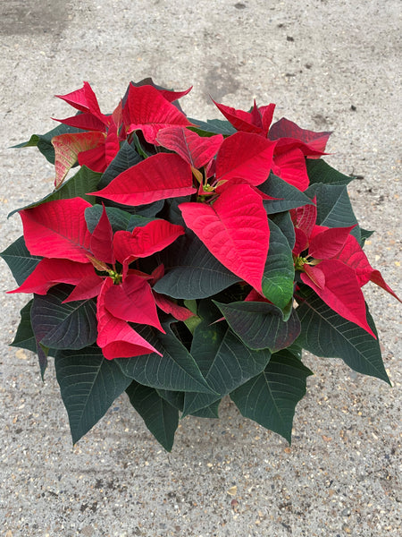 *Multi-Buy Deal* 3 x 1L Poinsettia (click for more colours)